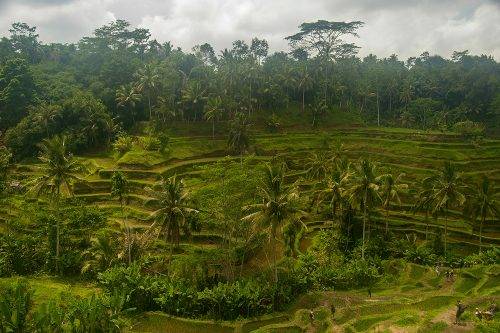 UBUD - Rice Fields