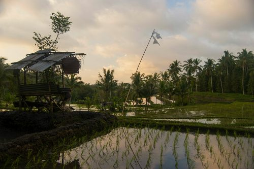 NORTHERN BALI - Rice Fields